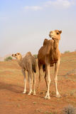 Camel with Calf Royalty Free Stock Images