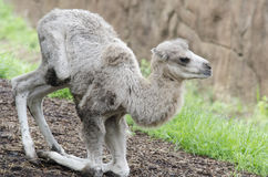 Camel calf 2 Stock Images