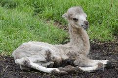 Camel calf Stock Photography