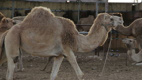 Camel calf in the ranch stock video footage
