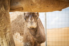 Camel calf in Wahiba Oman Royalty Free Stock Images