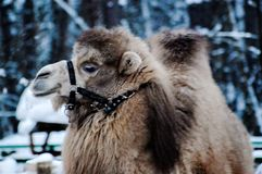 Camel. In the snow Royalty Free Stock Image