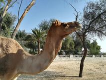 Camel. In the sun Royalty Free Stock Image