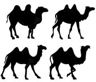 Camel Camels Silhouette Isolated. Illustration featuring silhouette four camels isolated on white background. Eps file is available Stock Photos