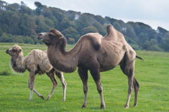 Camel, camelus with calf. Stock Photo