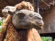 Camel camelus dromedarius face Royalty Free Stock Photography