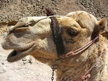 Camel Camelus - `Ship of the desert`. It`s large animals, adapted for life in arid regions of the world - deserts, semi-deserts. And steppes royalty free stock image
