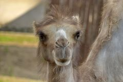 Camel Camelus - `Ship of the desert`. It`s large animals, adapted for life in arid regions of the world - deserts, semi-deserts. And steppes. Curious camel royalty free stock photography