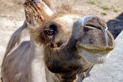 Camel Camelus - `Ship of the desert`. It`s large animals, adapted for life in arid regions of the world - deserts, semi-deserts. And steppes. Curious camel stock images