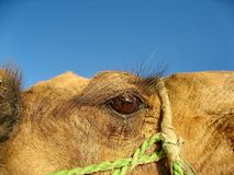 Camel Camelus - `Ship of the desert`. It`s large animals, adapted for life in arid regions of the world - deserts, semi-deserts. And steppes. Curious camel royalty free stock photo