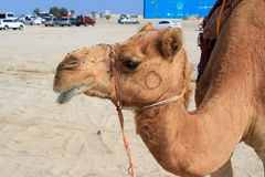 Camel in a camp. Camel in a winter camp in Qatar waiting the tourists for a ride Royalty Free Stock Image