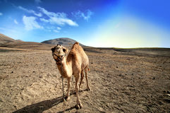 Camel in the Canarian island, Lanzarote Royalty Free Stock Images
