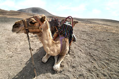 Camel in the Canarian island, Lanzarote Royalty Free Stock Photography