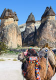 Camel in Cappadocia, Turkey Stock Image