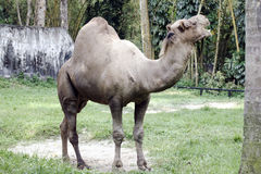 Camel in captivity Stock Photos