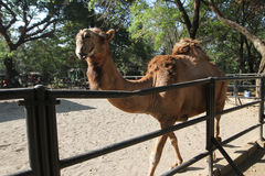 Camel. Captivity in a zoo in the city of Solo, Central Java, Indonesia royalty free stock photos