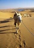 Camel caravan Royalty Free Stock Image