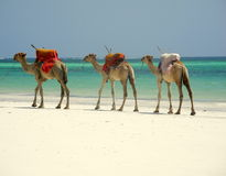 Camel Caravan. Camels on the beach in Mombasa Stock Images