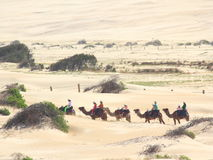 Camel caravan in dunes. Camel riding in Stockton sand dunes - a tourist attraction of Anna Bay - the largest sand dune system in Australia royalty free stock photo