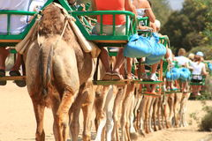 Camel caravan Stock Images