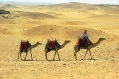 Camel caravan in desert Royalty Free Stock Images