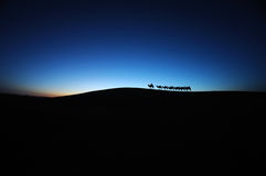 Camel caravan in the desert dawn. Located in Inner Mongolia Ejinaqi, China
