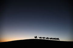 Camel caravan in the desert dawn Stock Image