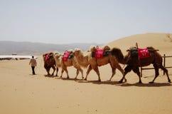 Camel Caravan in the Desert Stock Photography