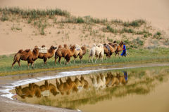 Camel caravan in the desert Stock Photo