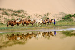 Camel caravan in the desert Stock Images