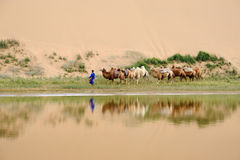 Camel caravan in the desert. Located in Inner Mongolia Ejinaqi, China stock photos