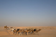 Camel caravan in the desert sahara Stock Image