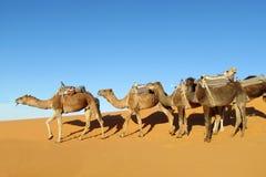 Camel caravan in desert. Camel track African Sahara desert sand dunes, erg Stock Images