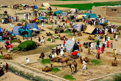 Camel caravan festival. A camel festival is held in Sahiwal Pakistan every year, where people come with there camels from all over the Pakistan. This is the royalty free stock image