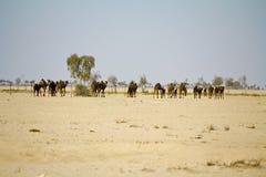 Camel caravan going through the desert Stock Photos