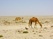 Camel caravan going through the desert Royalty Free Stock Photography