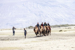 Camel caravan going through the sand dunes in the Nubra valley Royalty Free Stock Photos
