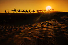 Camel Caravan. Going through the sand dunes in the Sahara Desert, Morocco