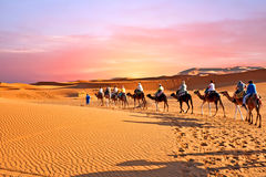 Camel caravan going through the sand dunes in the Sahara Desert,. Morocco at sunset Royalty Free Stock Photos