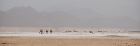Camel Caravan in Lac Assal Stock Image