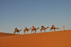 Camel caravan in Merzouga desert Stock Images