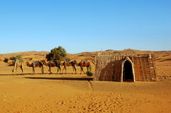 Camel caravan parking. In the Sahara desert Stock Photography