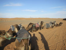 Camel caravan resting in Sahara desert Royalty Free Stock Image