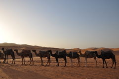 Camel caravan in Sahara desert Royalty Free Stock Images