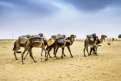 Camel Caravan in the Sahara desert,Africa Stock Photography