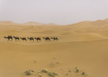 Camel caravan in the sahara desert Royalty Free Stock Photo