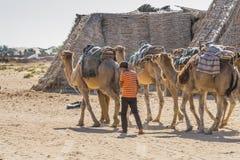 Camel caravan in the sahara desert Royalty Free Stock Photography