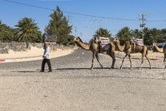 Camel caravan in the sahara desert Royalty Free Stock Image