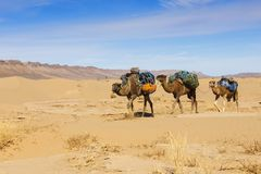 Caravan of camels in the desert royalty free stock photo