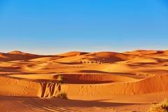 Camel caravan in Sahara Desert, Morocco Royalty Free Stock Photo